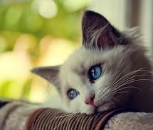 blue eyes cat sad